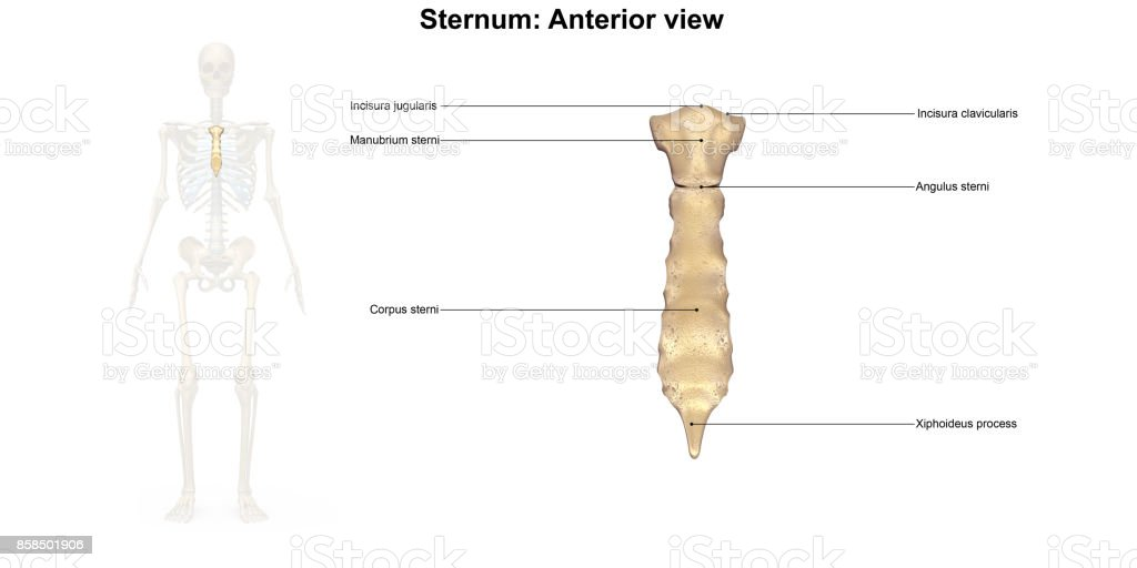 Sternum_Anterior view stock photo