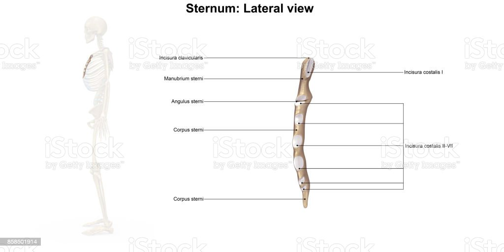 Sternum_Lateral view stock photo