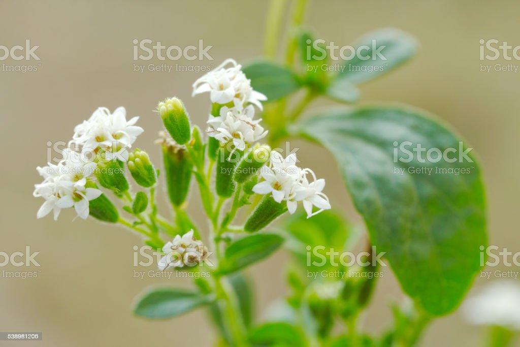Stevia flower stock photo