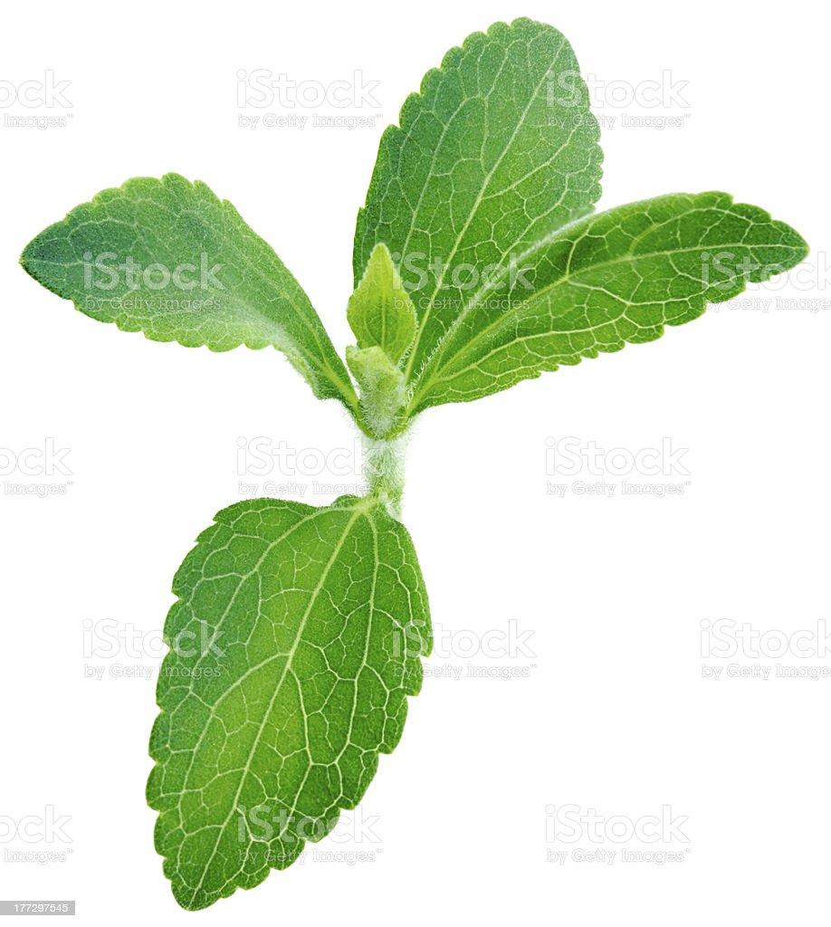 Stevia Rebaudiana Plant Stock-Fotografie und mehr Bilder von ...