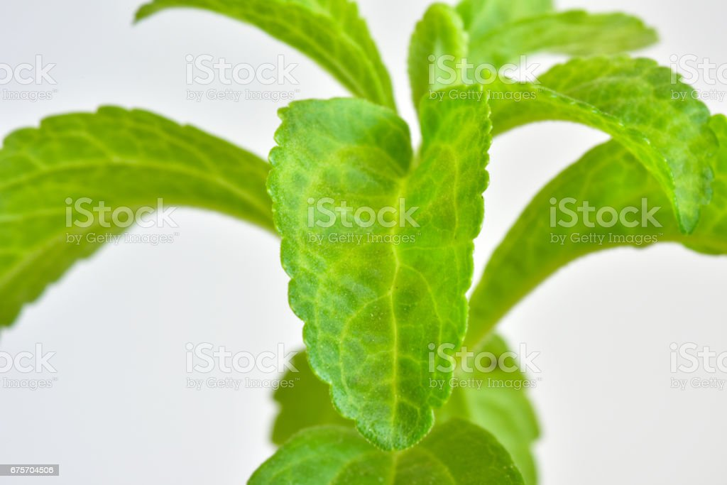 Stevia young plant royalty-free stock photo
