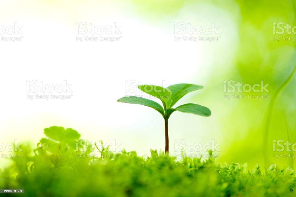 Stewartia saplings foto stock royalty-free