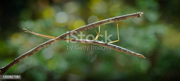 stick bug on a stick