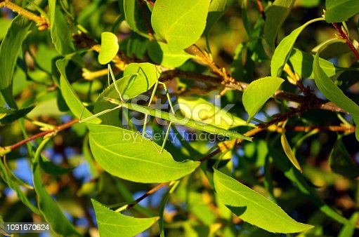 Stick insect hanging in vegetation. Stick insects are insects in the order Phasmatodea. They are camouflaged as either sticks or leaves