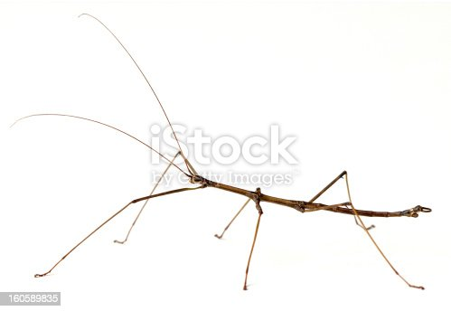 Northern Walkingstick Insect (Diapheromera fermorata) on a white background