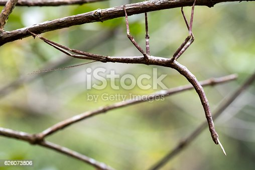 stick insect - Madagascar