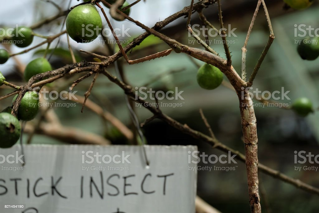 Stick Insect stock photo