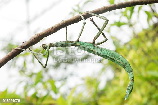 The Phasmatodea (also known as Phasmida or Phasmatoptera) are an order of insects, whose members are variously known as stick insects