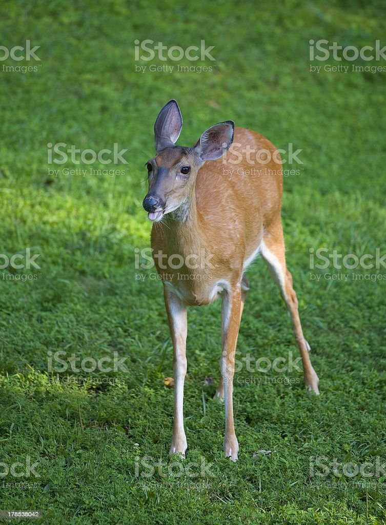 Sticking its tongue out royalty-free stock photo