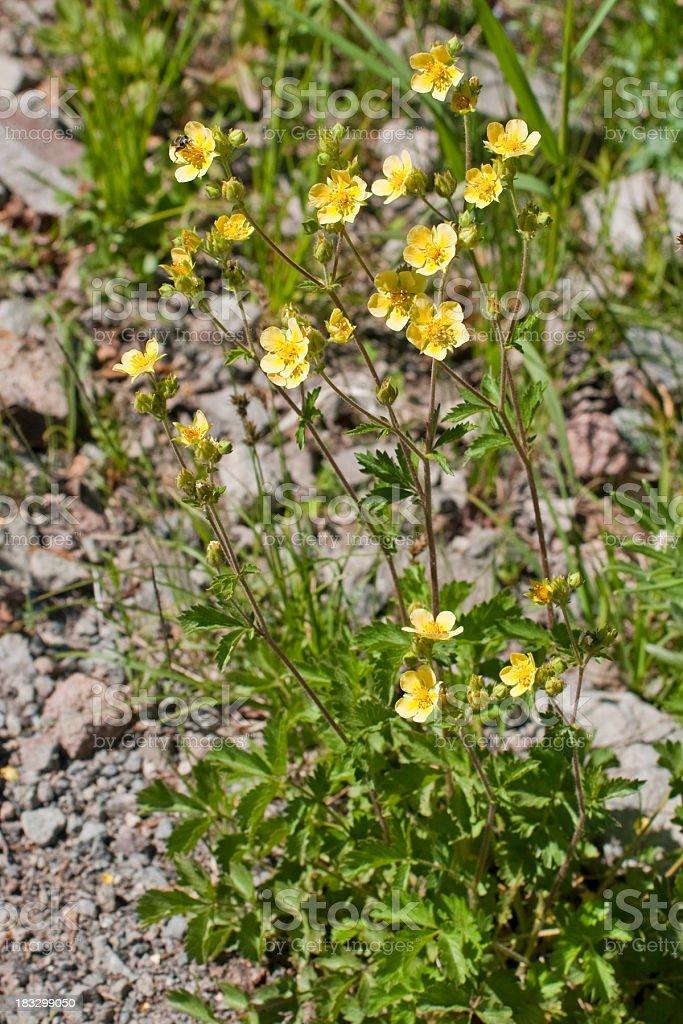 sticky cinquefoil  Potentilla glandulosa stock photo