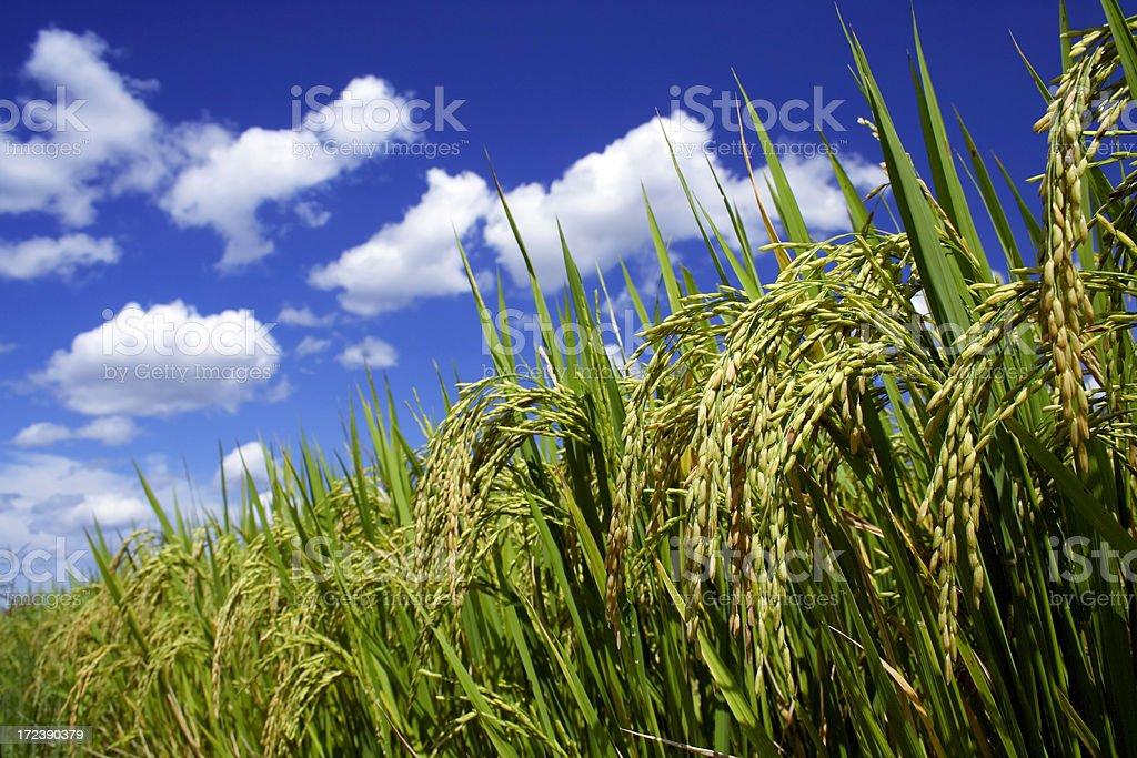 Sticky rice field 2 stock photo