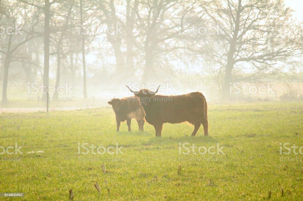 Stier im Nebel stock photo