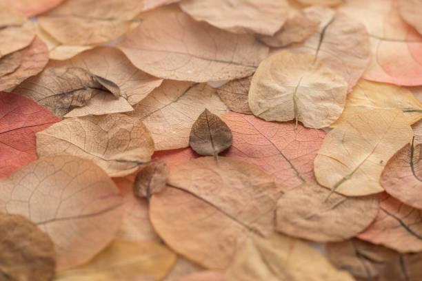 乾燥的布干維拉花瓣的靜死。圖像檔