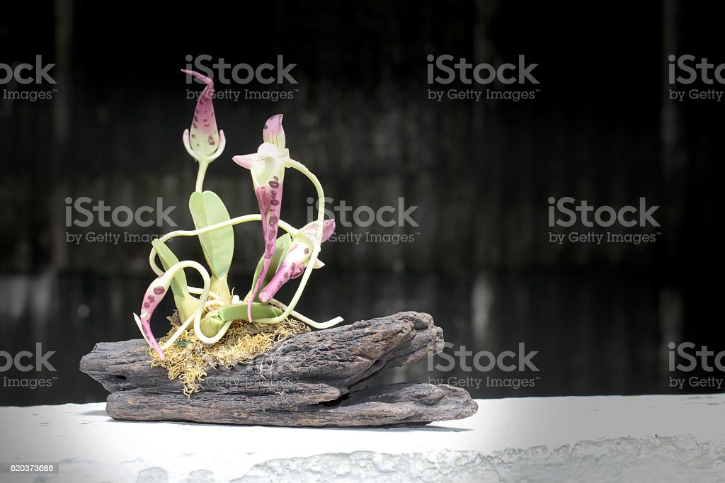 still life with orchid on wood in night time zbiór zdjęć royalty-free
