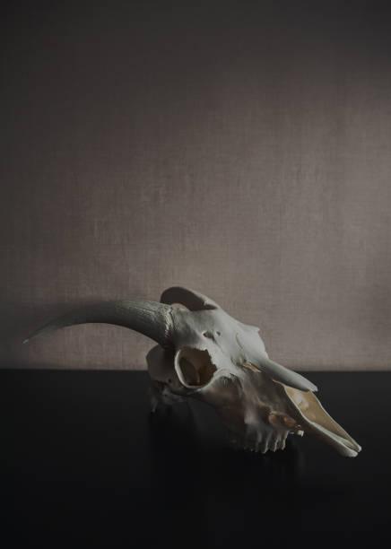 stillleben mit ram schädel auf dunklen - schafkopfkarten stock-fotos und bilder