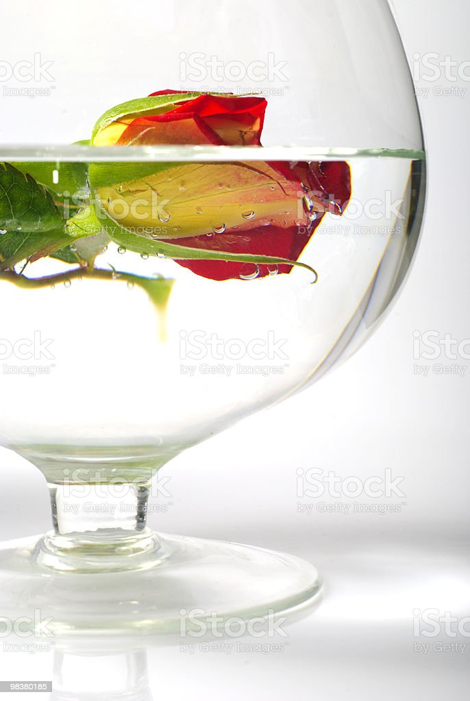 Still life with rose in water royalty-free stock photo