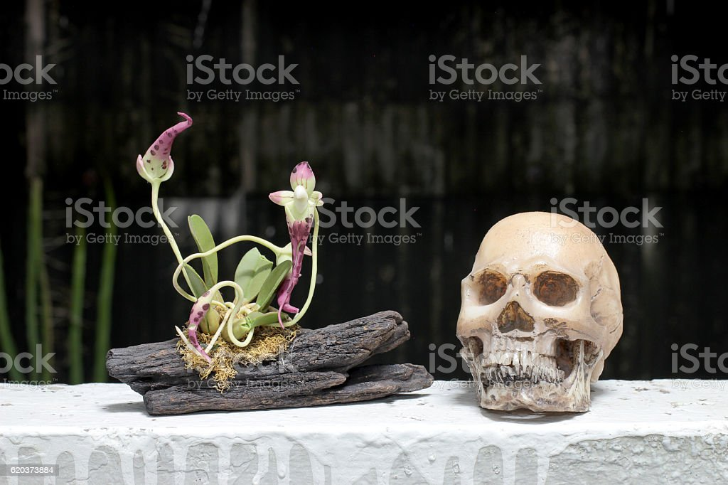 still life with skull and orchid on wood zbiór zdjęć royalty-free
