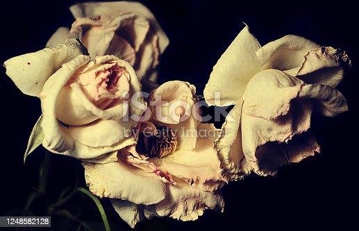 Still life with three dry roses on black background