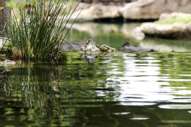 stilles wasser in der natur, valencia - teich stock-fotos und bilder