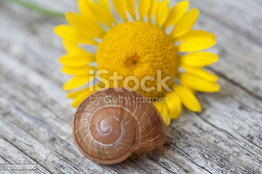 Stilllife of a snail shell and a golden marguerite (Cota tinctoria) flower bloom on a wooden table