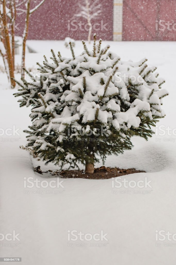 Still-life of a winter courtyard, a fir-tree in the snow during a snowfall stock photo