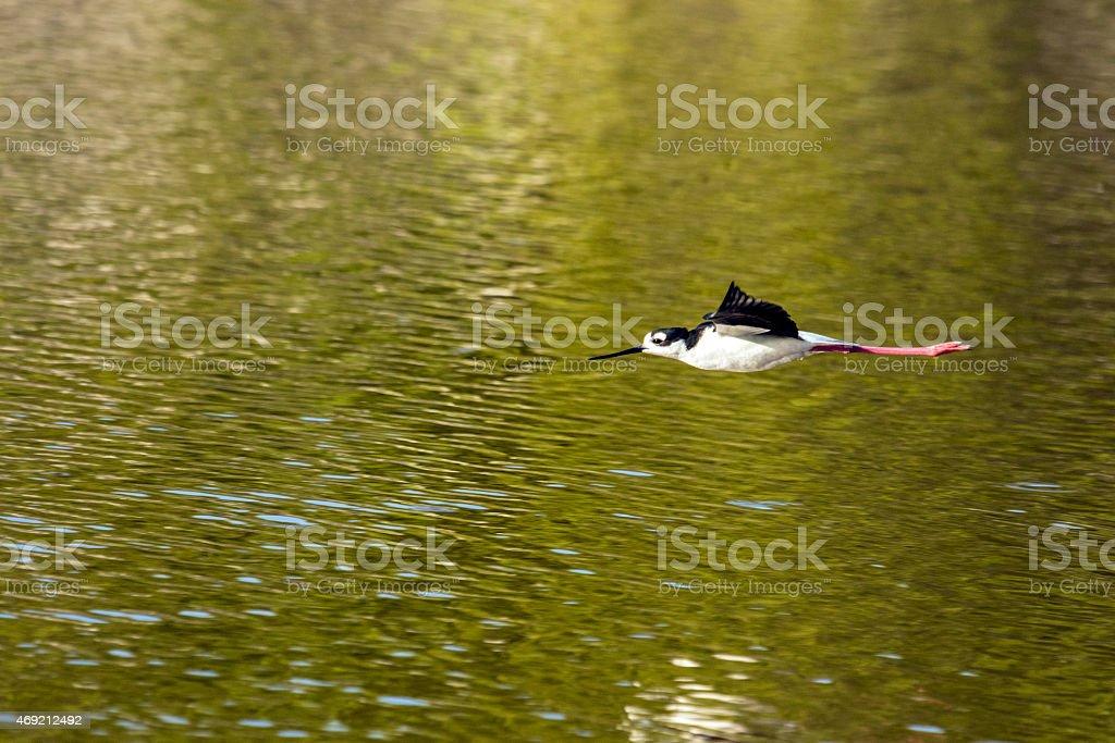 Stilt flying across the pond at sunset stock photo
