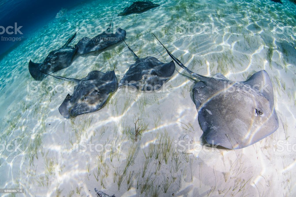 Sting Rays in Crystal Clear Ocean Waters of Bahamas stock photo
