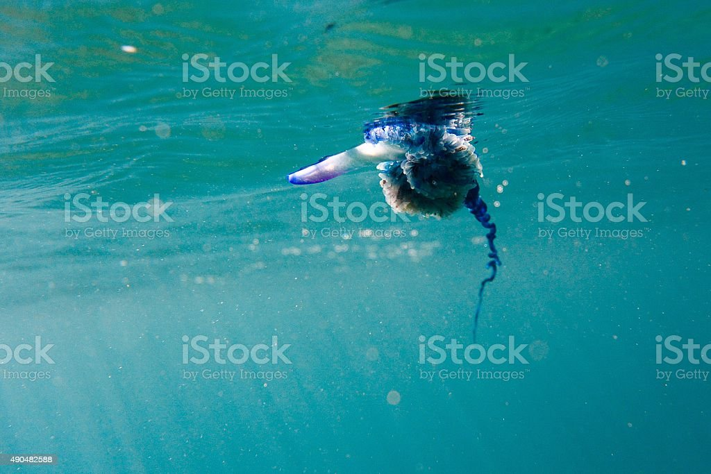 Stinger under water close up stock photo