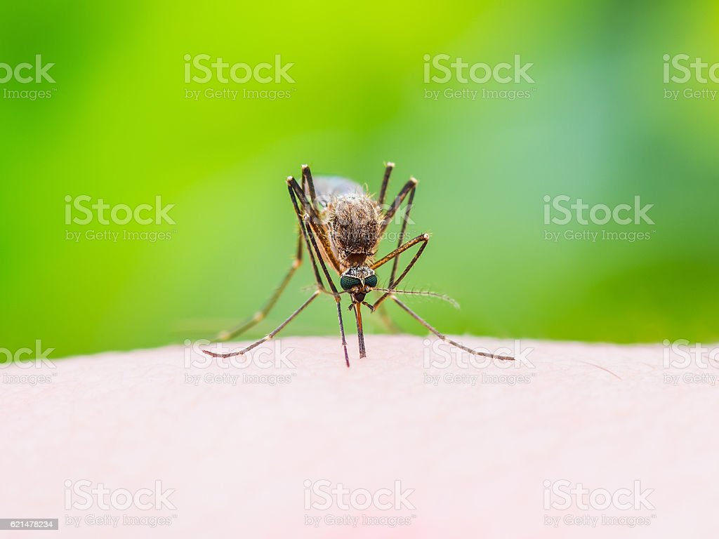 Stinging Mosquito on Green Background stock photo