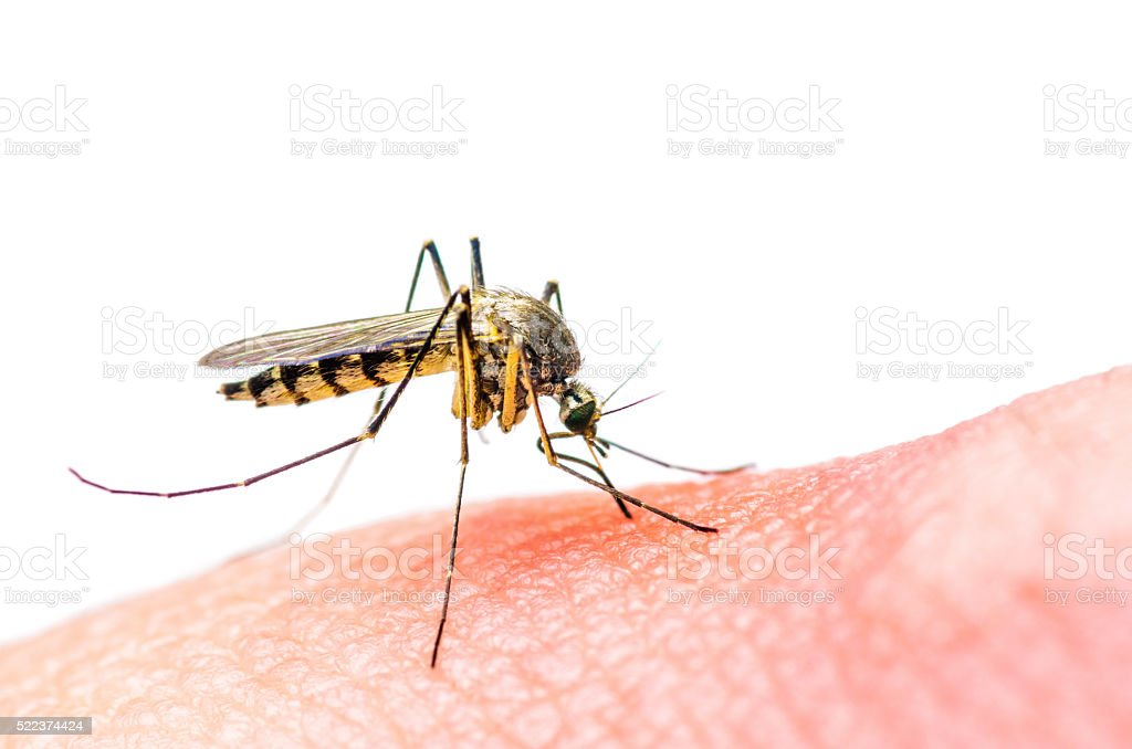 Stinging Mosquito stock photo