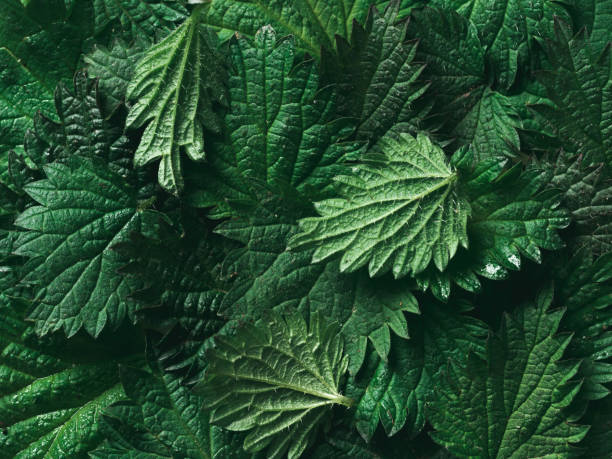 stinging nettle background texture, top view, close up stinging nettle leaves as background. Beautiful texture of nettle. Top view. Copy space. Can use as banner stinging nettle stock pictures, royalty-free photos & images