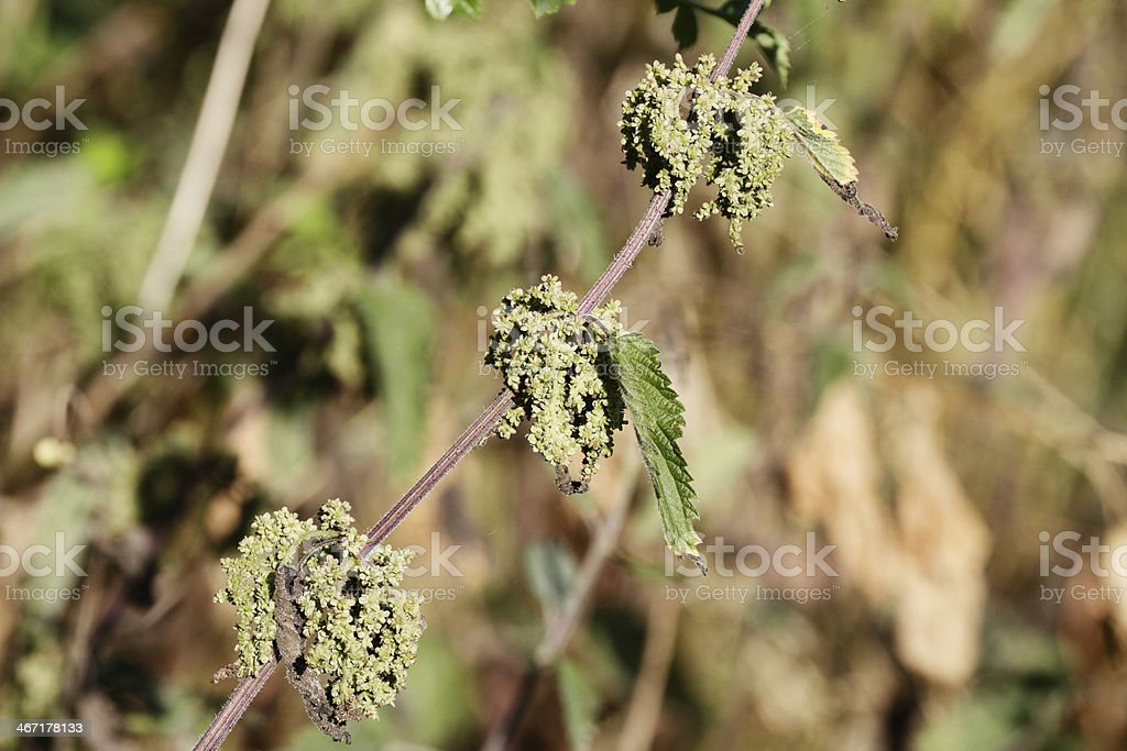Stinging nettle Urtica dioica in flower soft background royalty-free stock photo