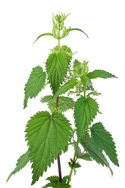 Stinging Nettle Stinging Nettle (Urtica dioica) stinging nettle stock pictures, royalty-free photos & images