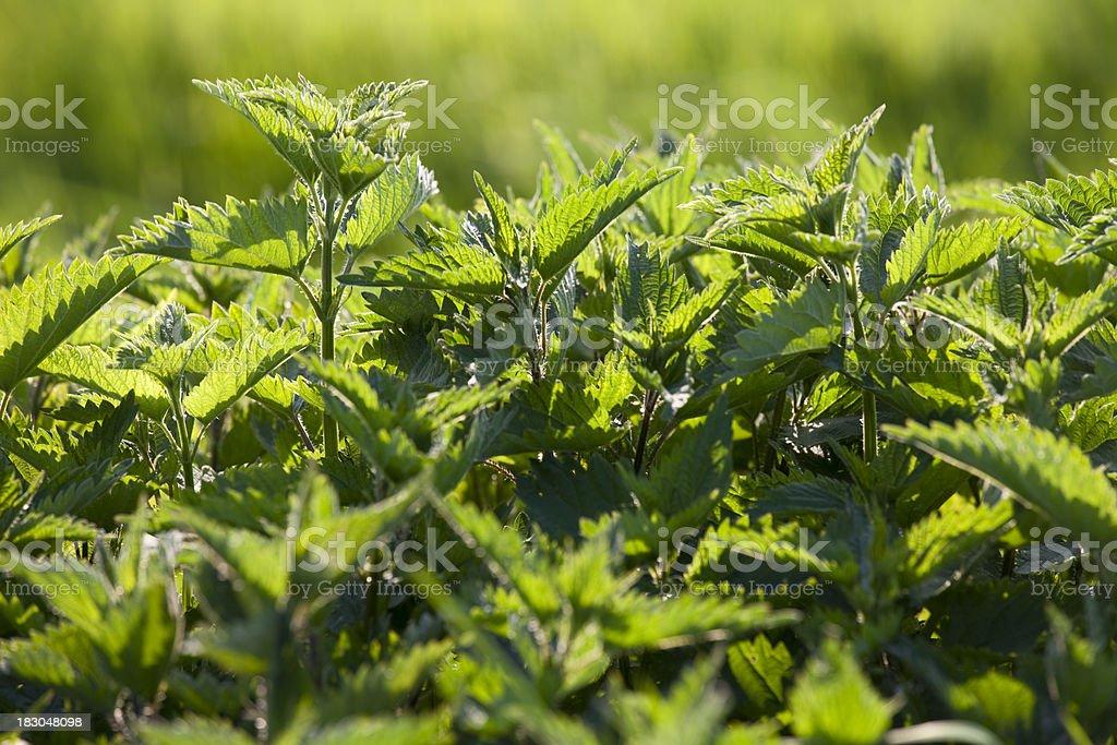 Stinging Nettle (Herb) stock photo