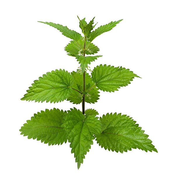 Stinging Nettle Stinging nettle or common nettle, Urtica dioica. stinging nettle stock pictures, royalty-free photos & images