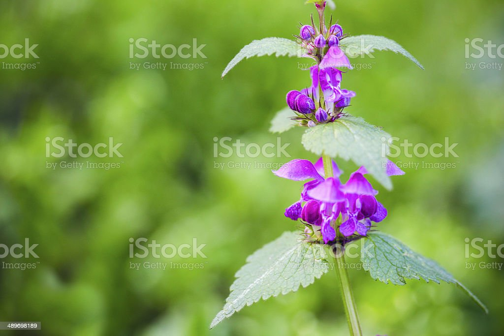 Stinging nettle royalty-free stock photo