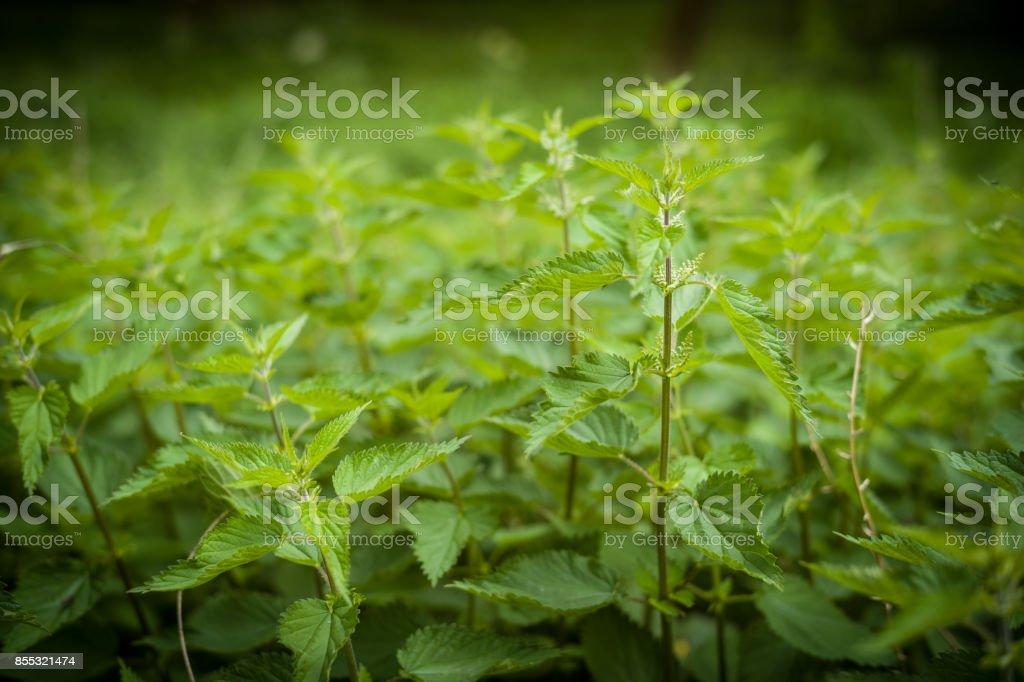 stinging nettles England stock photo