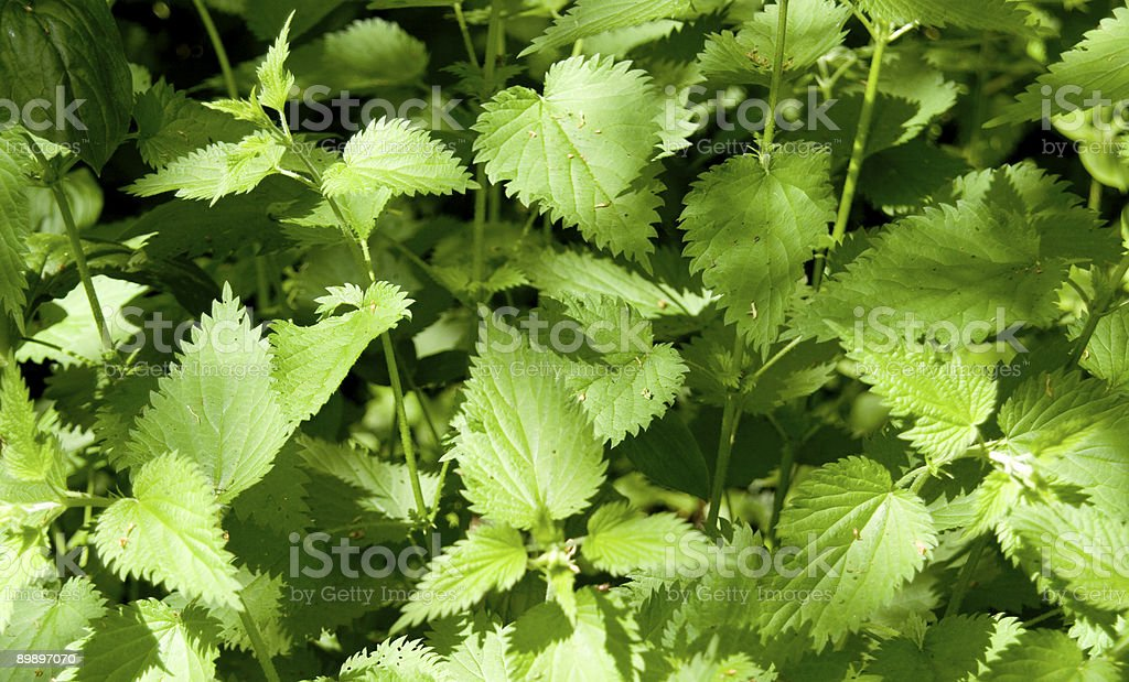 stinging nettles royalty-free stock photo