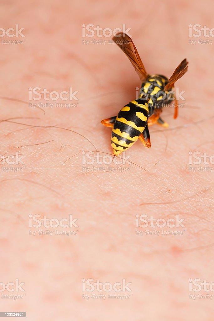 Stinging wasp stock photo