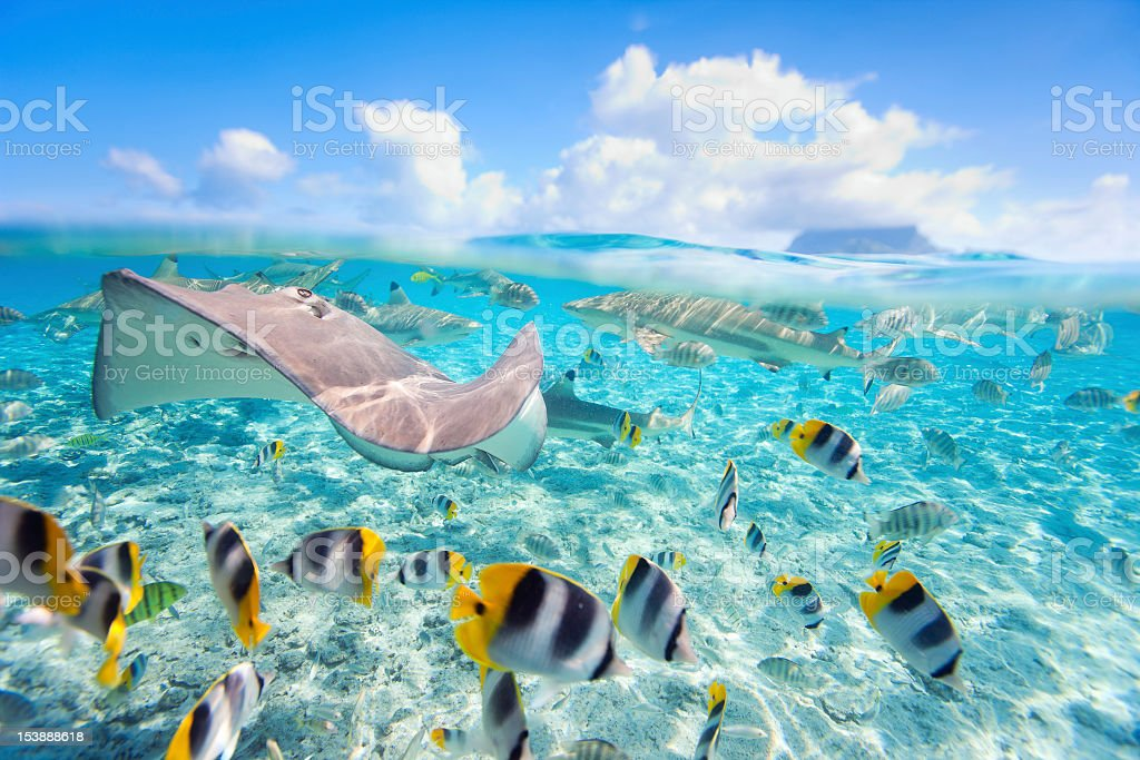 A stingray and schools of fish in BoraBora stock photo