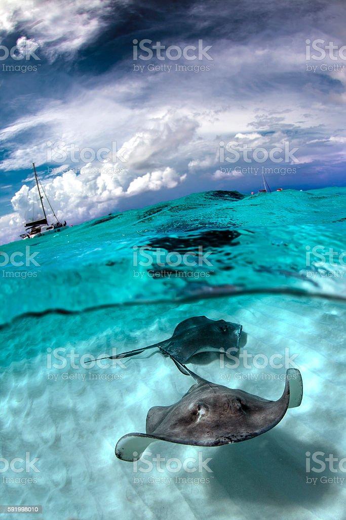 stingray city - Cayman Island stock photo