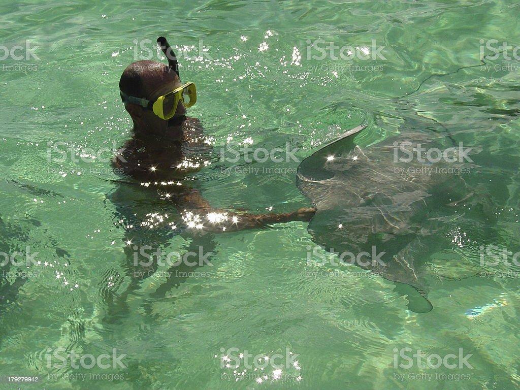 Stingray Feeding royalty-free stock photo