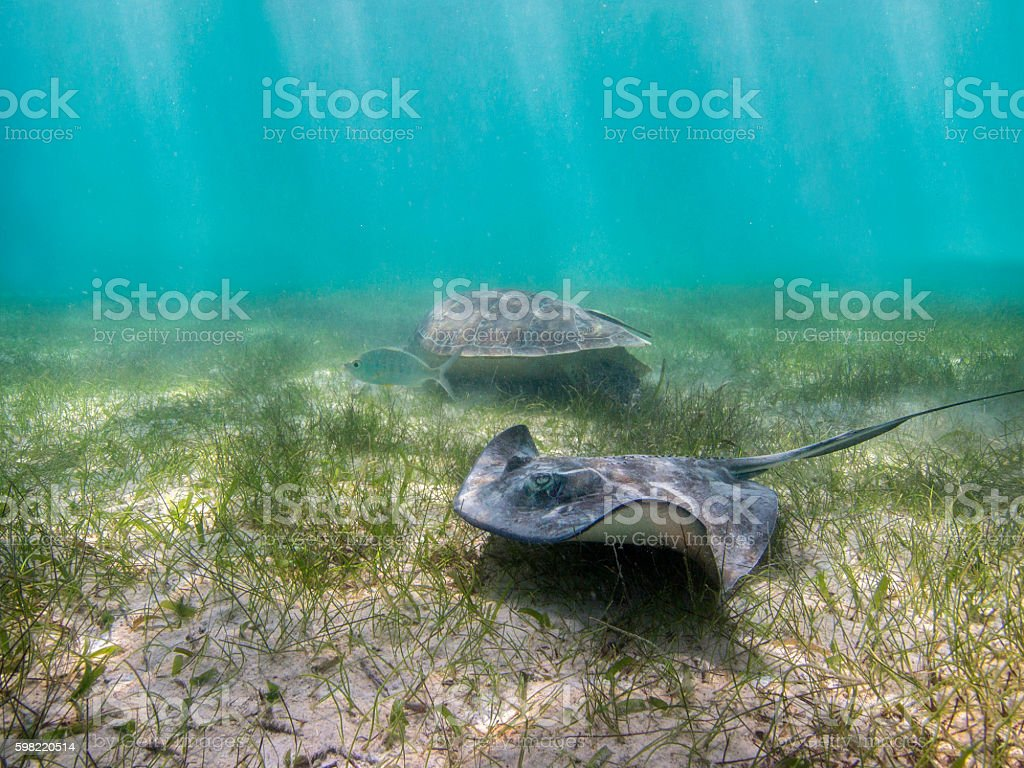 stingray, fish and turtle foto royalty-free