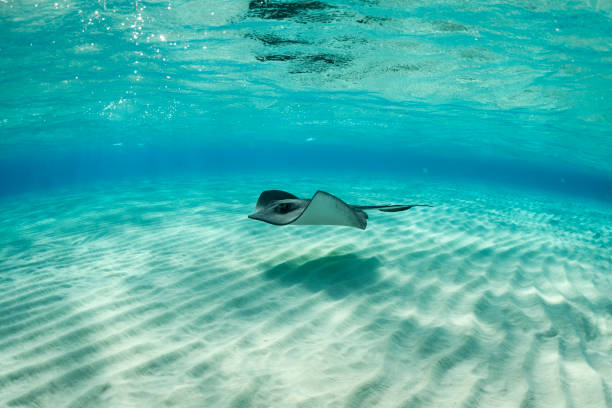 stingray fish - caribbean culture stock pictures, royalty-free photos & images
