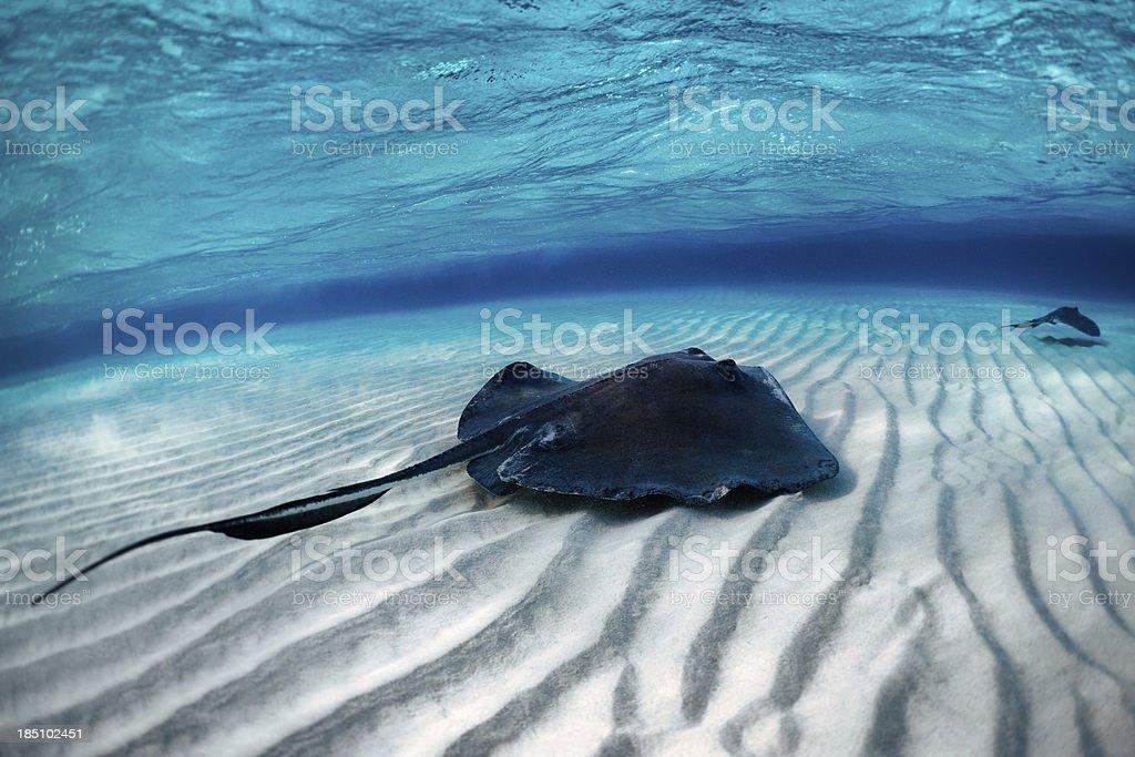 Stingray Fisch - Lizenzfrei Angst Stock-Foto