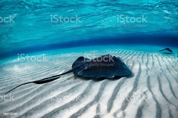 Stingray Fisch Stockfoto und mehr Bilder von Angst