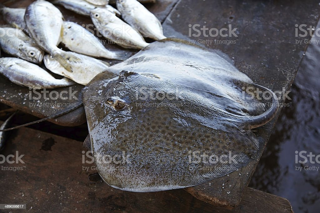 Stingray on the counter of the fish market. Siolim, Goa, India. royalty-free stock photo