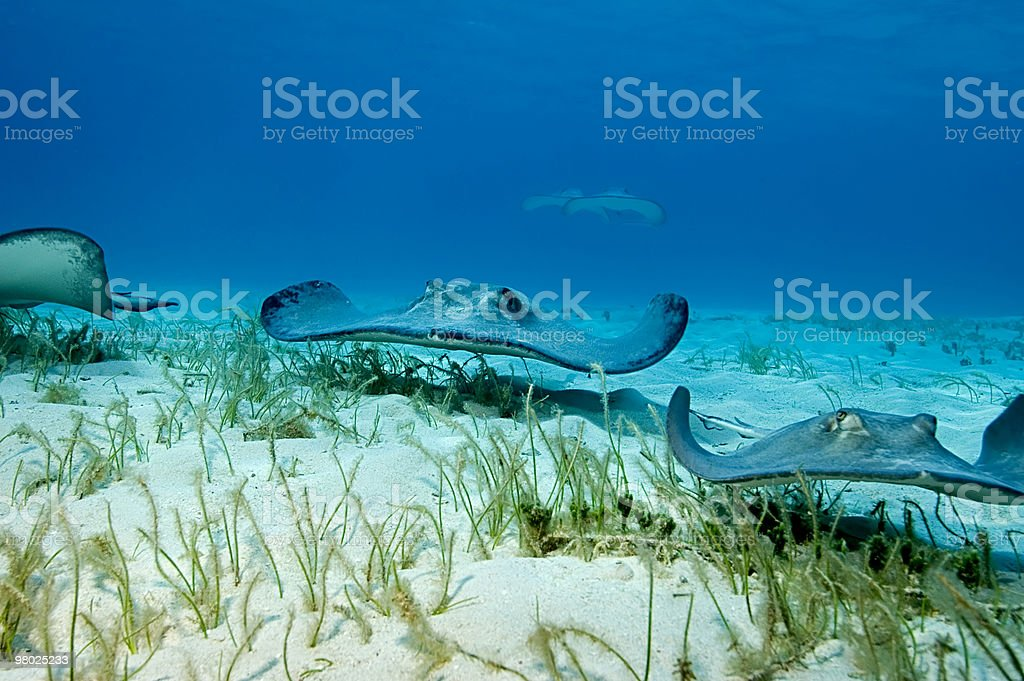 Stingray stealth bombers royalty-free stock photo