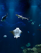 vertical shot of Stingray and sharks underwater.