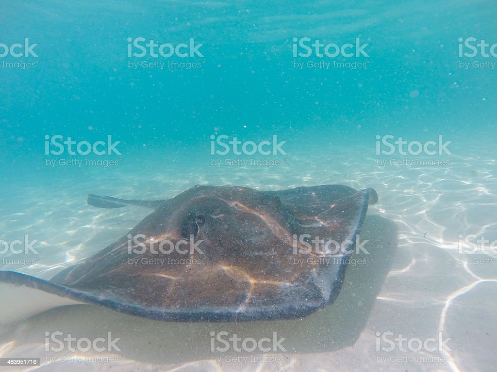 Stingrays fish swimming in the sea stock photo